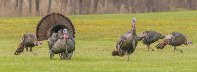 turkey-hens-tom-750x278