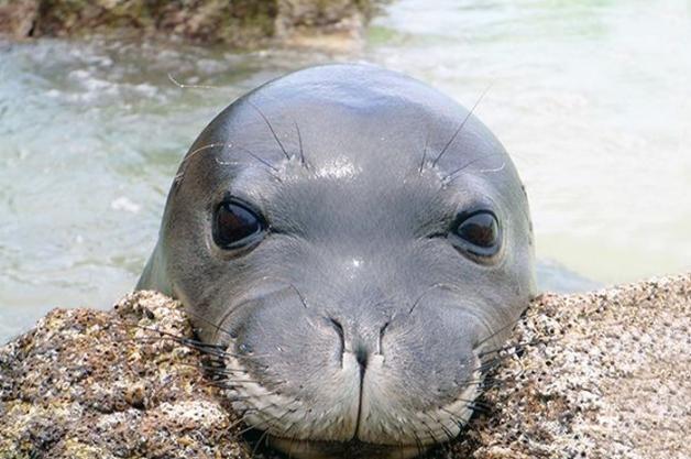 monk-seal